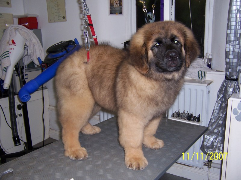 Rescue Adopt Leonberger Related Keywords - Rescue Adopt ...